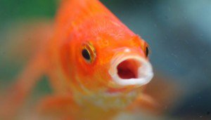 attention span shorter than gold fish