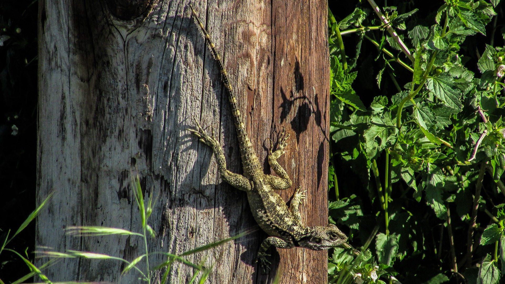 lizard-1230948_1920